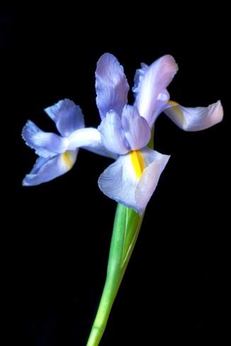 Iris Series - 19
