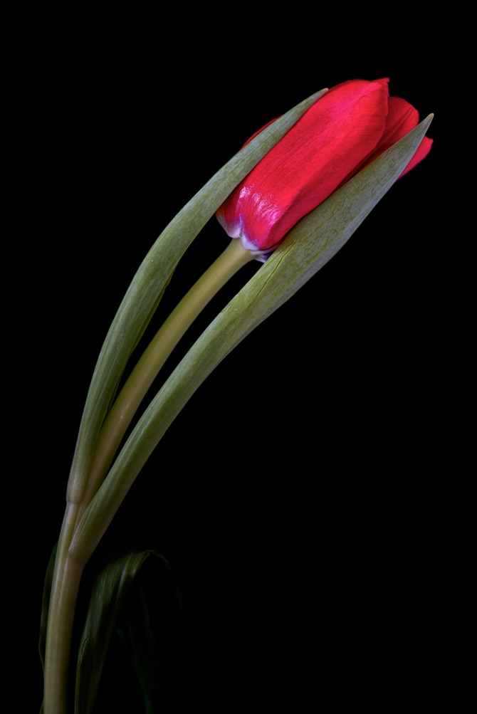 A Tulip Emerges - 34