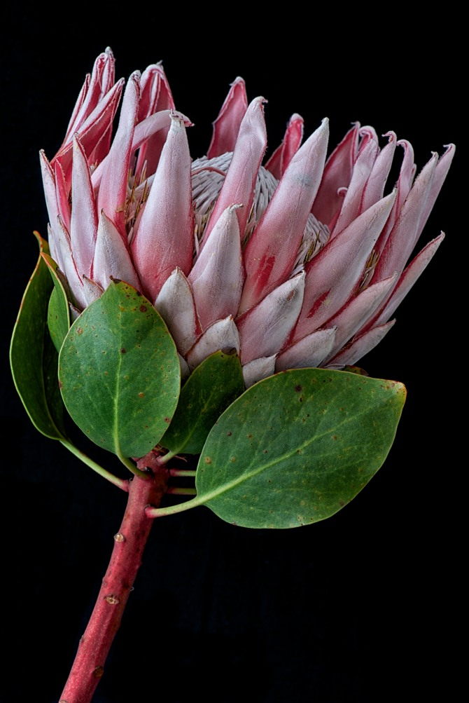 King Protea Series - 1