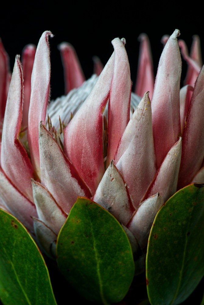 King Protea Series - 2