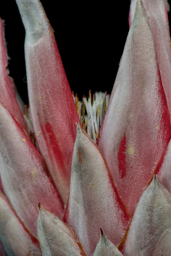 King Protea Series - 5