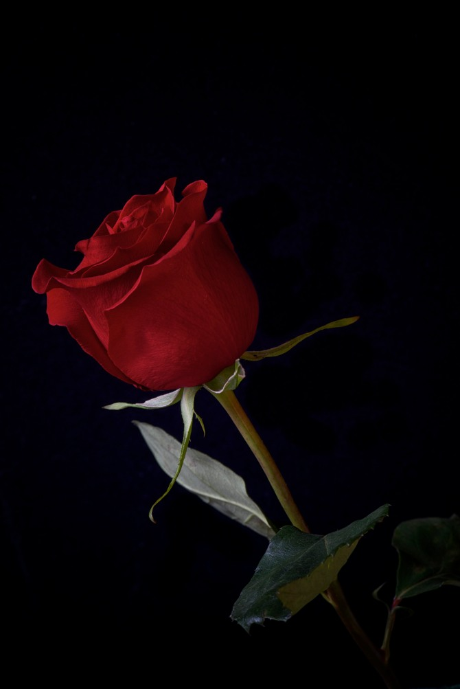 Rose Series - 23