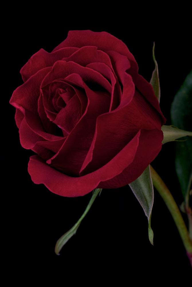 Rose Series - 24