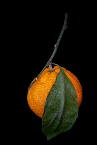 Satsuma Orane Study - 1