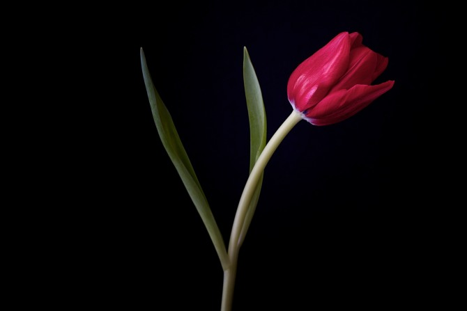 A Tulip Emerges - 35