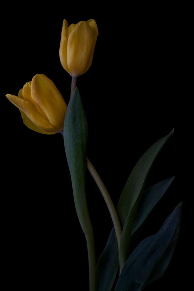 A Tulip Emerges - 36