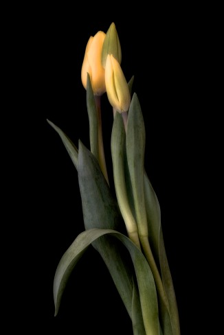 A Tulip Emerges - 37