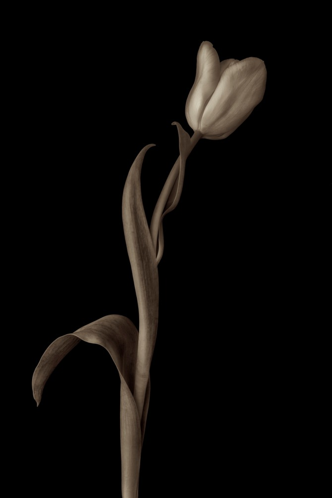 A Tulip Emerges - 39