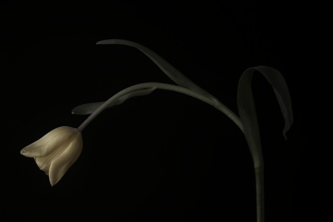 A Tulip Emerges - 40