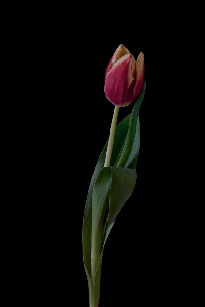 A Tulip Emerges - 42