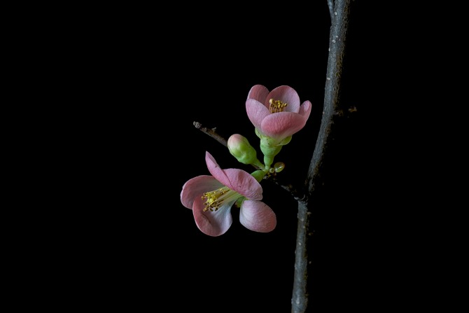 Quince Blossoms - 1