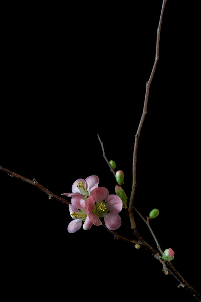 Quince Blossoms - 2
