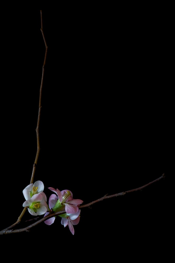 Quince Blossoms - 4