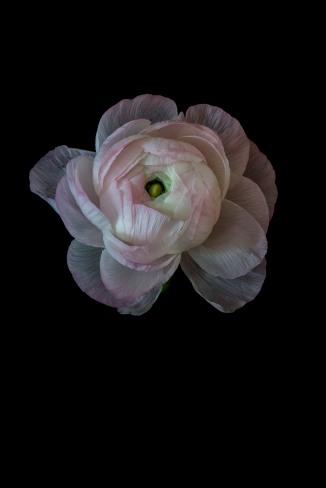 Ranunculus Series - 3