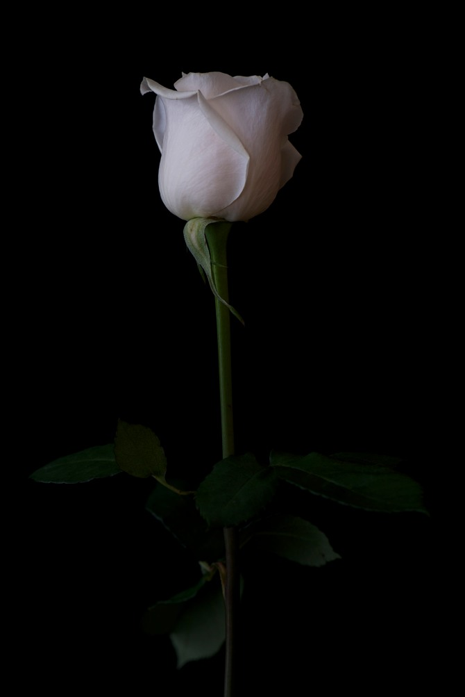 Rose Series - 25