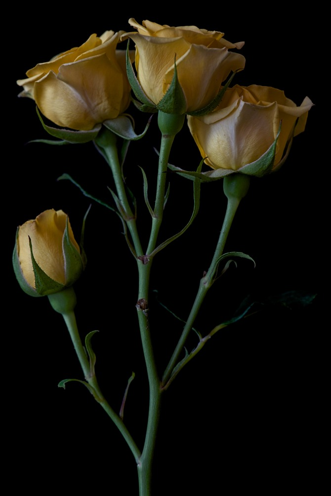 Rose Series - 26