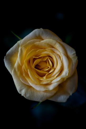 Rose Series - 27