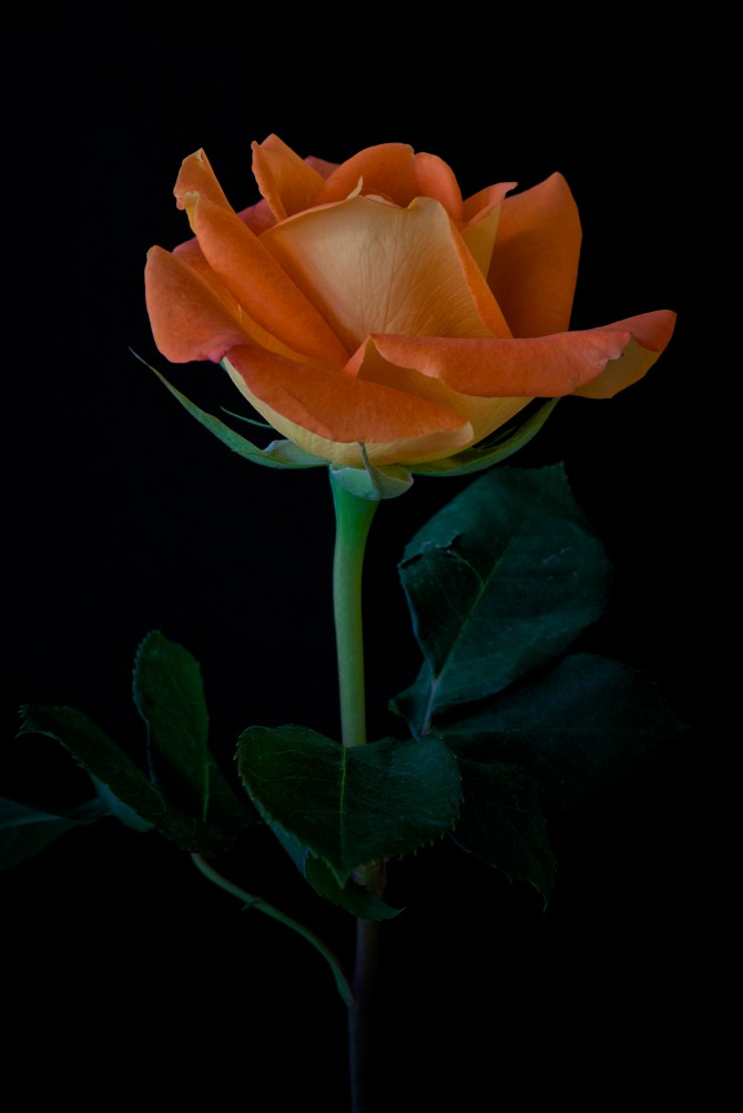 Rose Series - 28