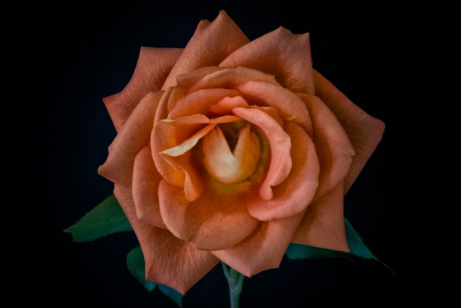 Rose Series - 29