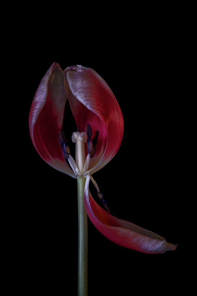 A Tulip Emerges - 44