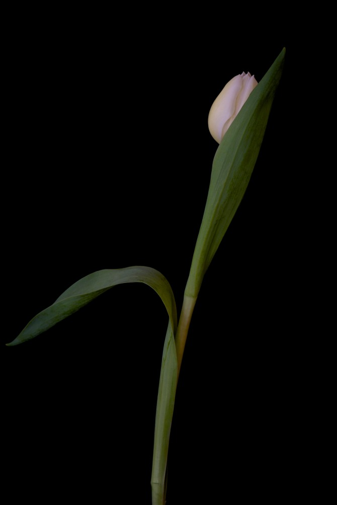 A Tulip Emerges - 45