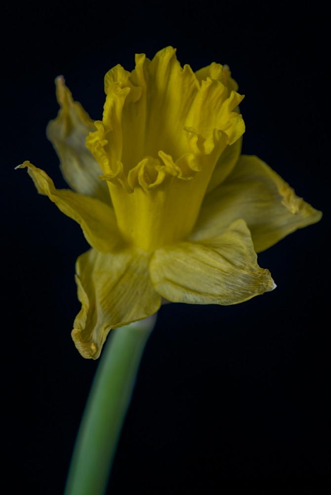 Daffodil Series - 5