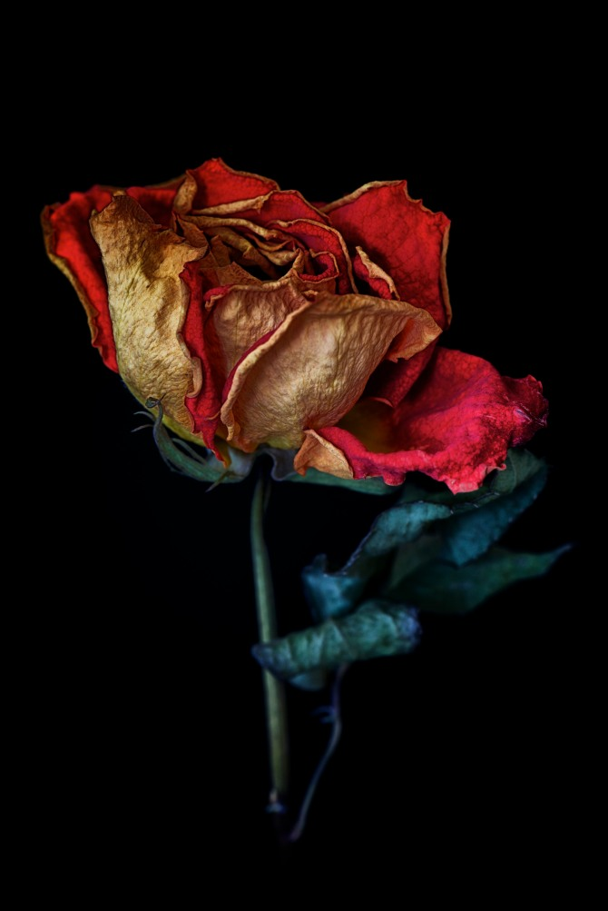 Dried Rose - 5
