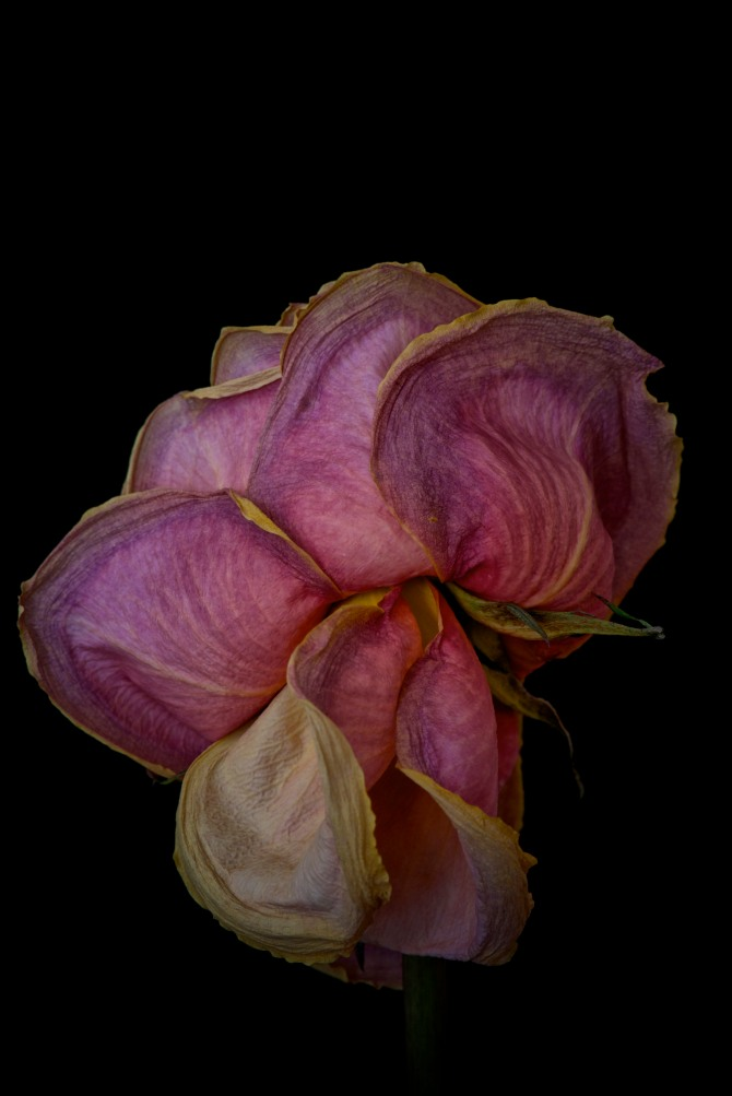 Dried Rose - 6