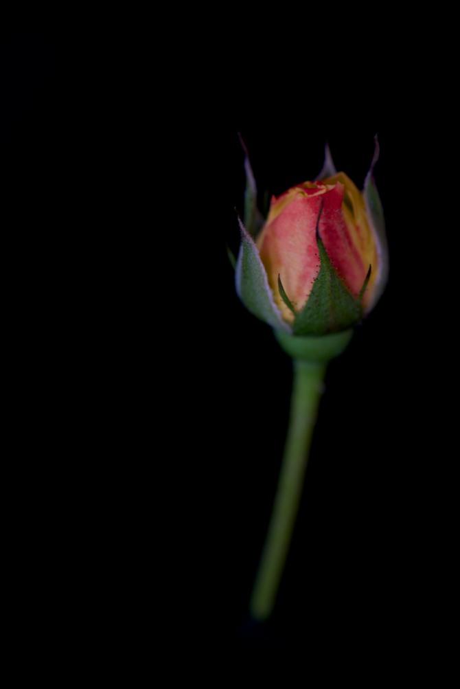 Rose Series - 31