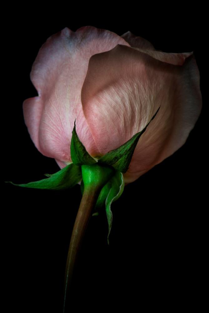 Rose Series - 34