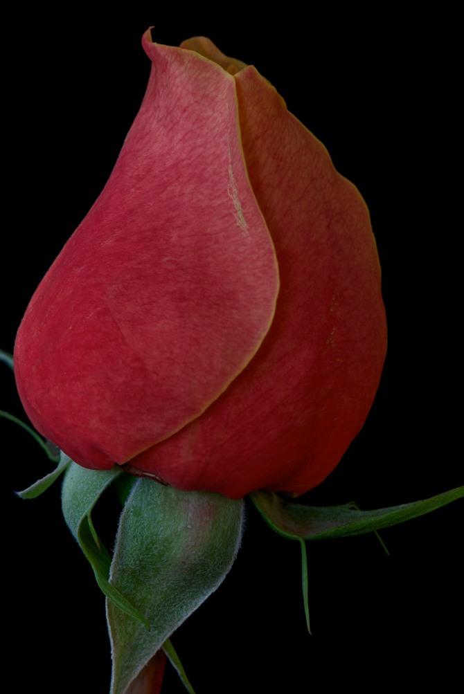 Rose Series - 35