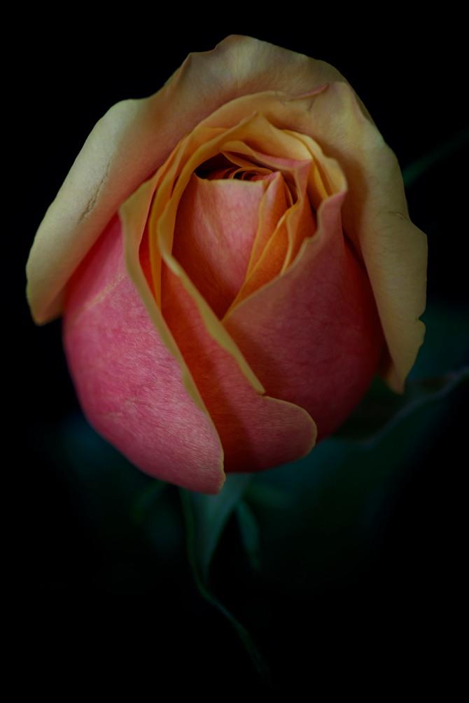 Rose Series - 36
