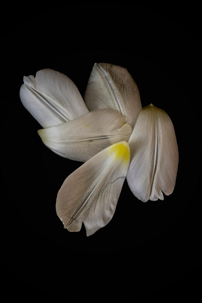 Tulip Petals - 2