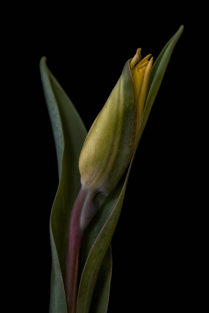 A Tulip Emerges - 48