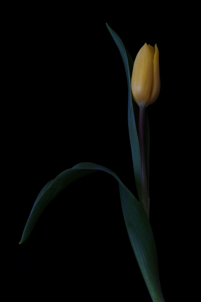 A Tulip Emerges - 50