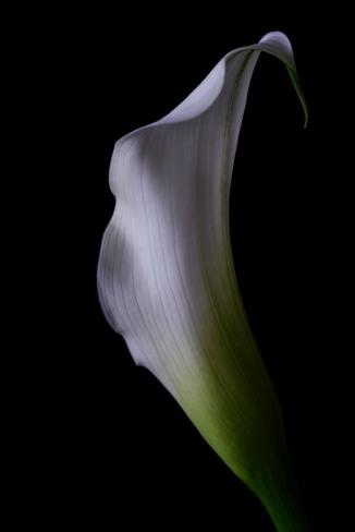 Calla Lily Series - 18