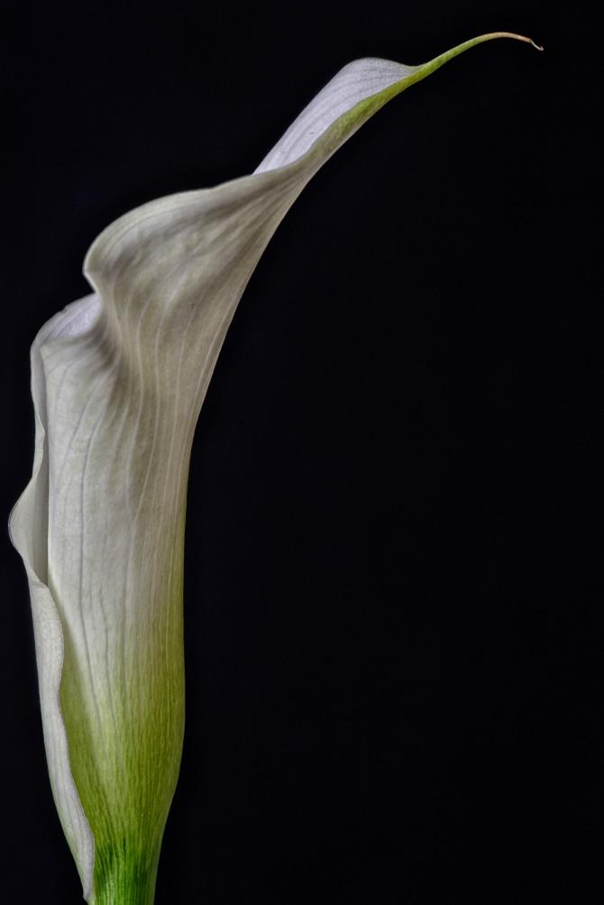 Calla Lily Series - 19
