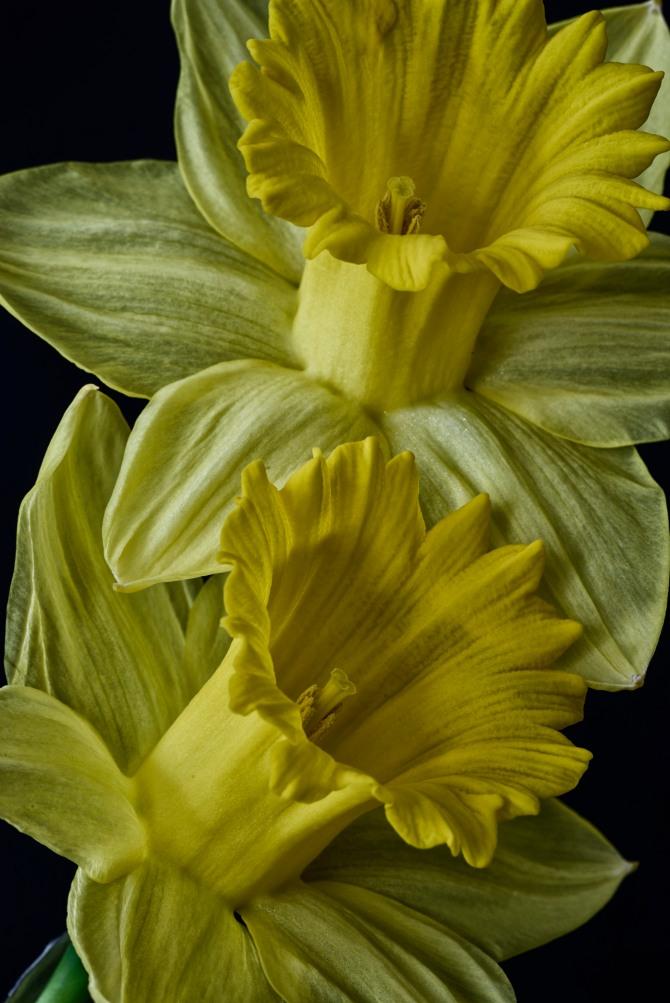 Daffodil Series - 8