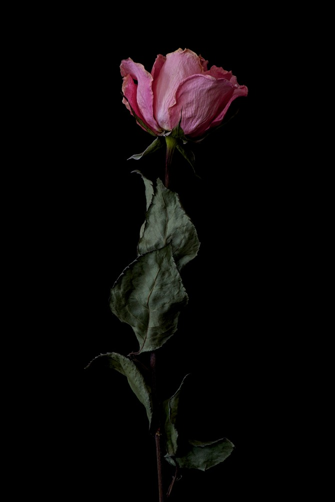 Dried Rose - 8