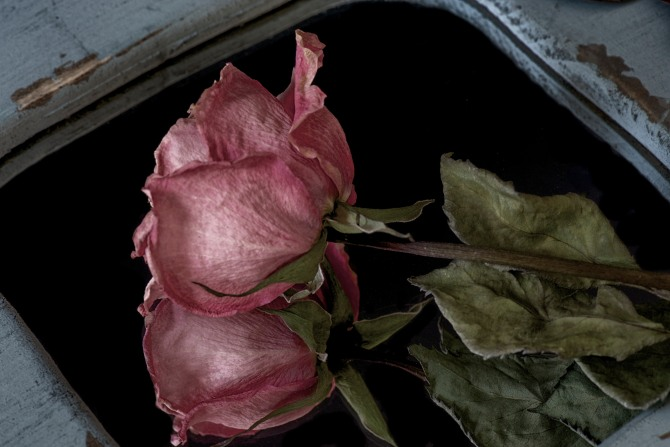 Dried Rose - 9