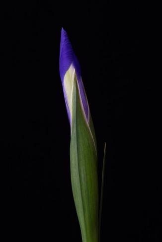 Iris Series - 23