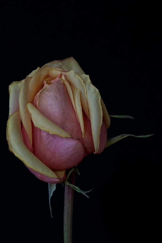Rose Series - 39