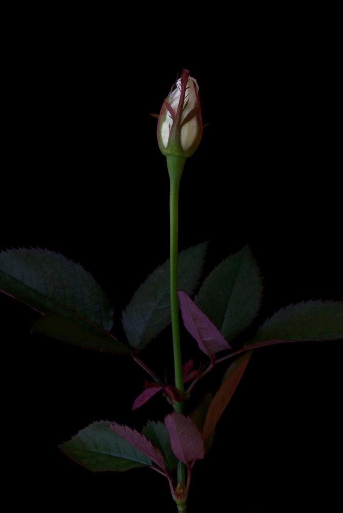 Rose Series - 40