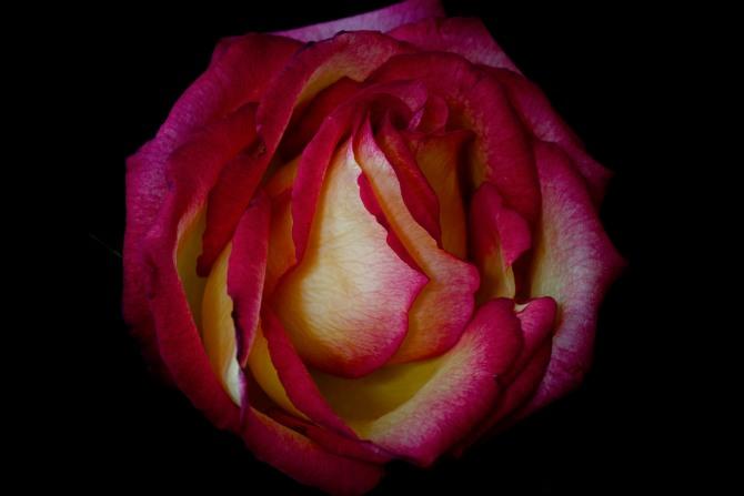 Rose Series - 43
