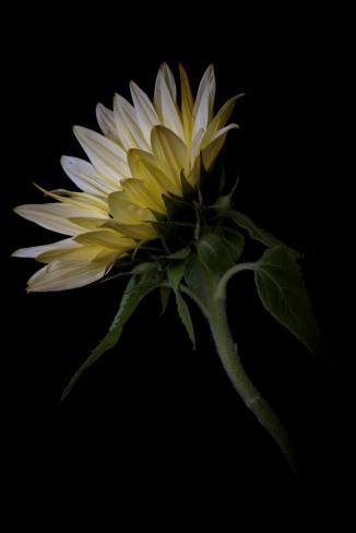 Sunflower Series - 7