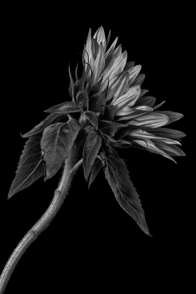 Sunflower Series - 8