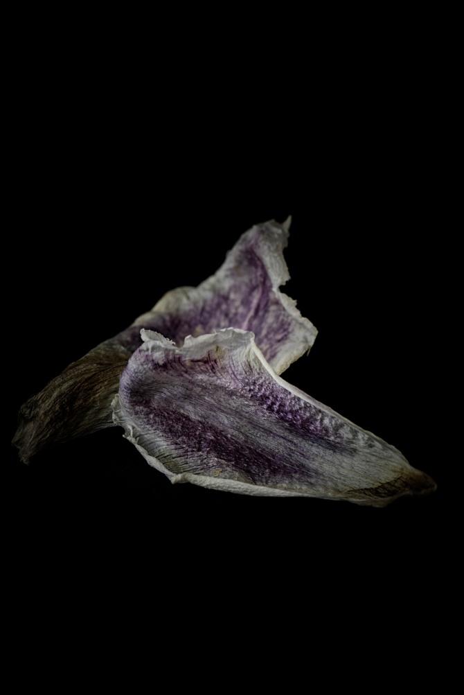 Tulip Petals - 3