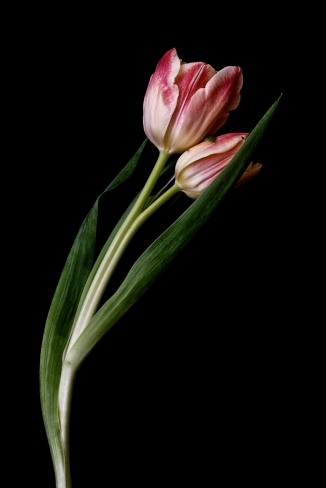A Tulip Emerges - 54