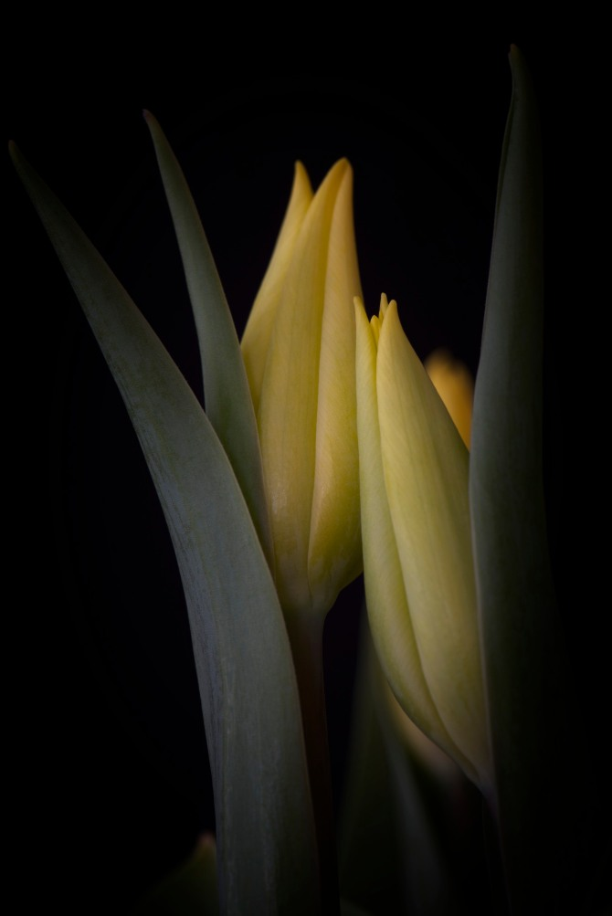 A Tulip Emerges - 56