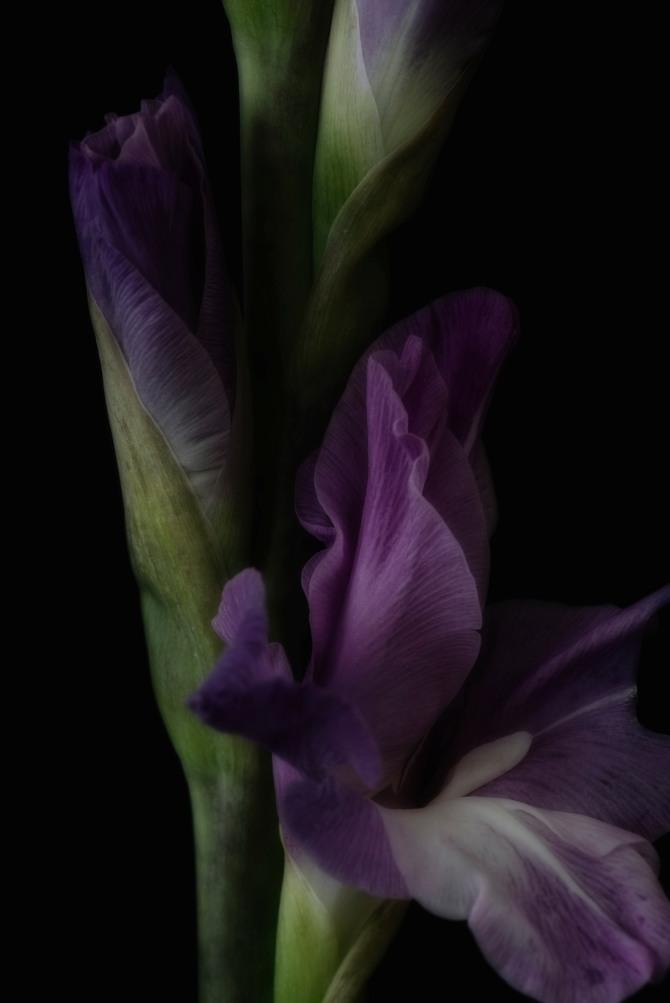 Gladiolus Series - 5